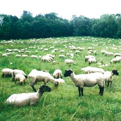 No. 3450 | Sheep | Wall coverings | Berlintapete