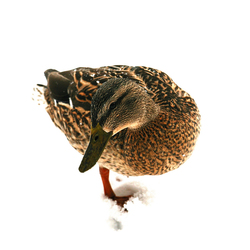No. 6665 | Ducks in the snow | Wall coverings | Berlintapete