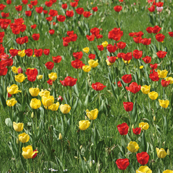 No. 6259 | Tulip field | Wall coverings / wallpapers | Berlintapete