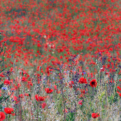 No. 5545 | Poppy Meadow | Wall coverings / wallpapers | Berlintapete