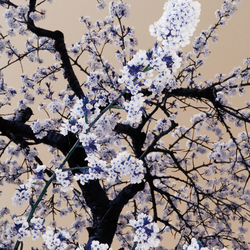 No. 6519 | Sakura | Wall coverings / wallpapers | Berlintapete