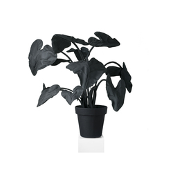 Alocasia Black/White | Objekte | JAN WILLEM de LAIVE
