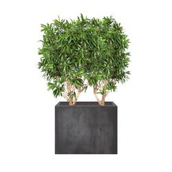 Heckenelement Dracaena hoch 160-180 cm | Raumteilsysteme | art aqua