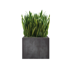 Heckenelement Sanseveria hoch 120-140 cm | Space dividers | art aqua