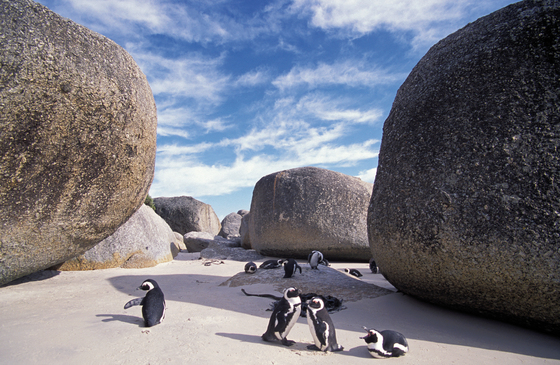 No. 6171 | Penguins with stones by Berlintapete | Wall coverings
