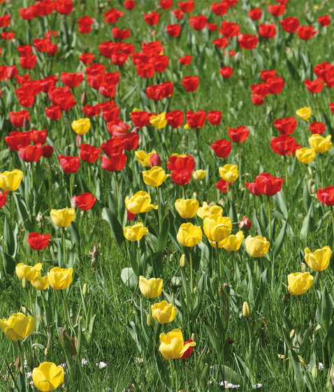 No. 6259 | Tulip field by Berlintapete | Wall coverings / wallpapers