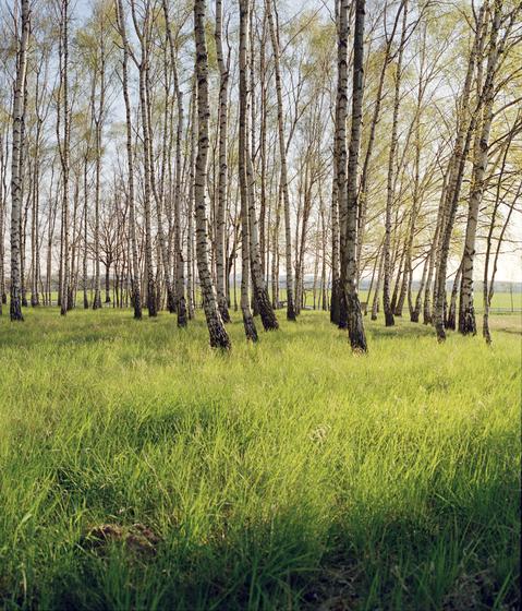 Nr. 3127 | Birkenwald von Berlintapete | Wandbeläge / Tapeten