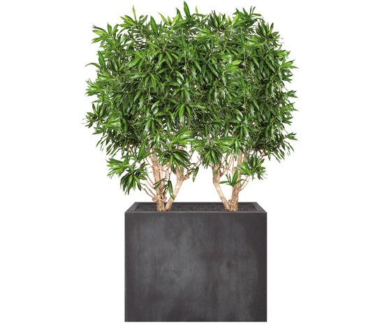 Heckenelement Dracaena hoch 160-180 cm by art aqua | Space dividers