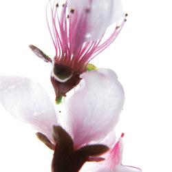 petals | cher | Quadri / Murales | N.O.W. Edizioni