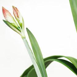 petals | daffodil | Arte | N.O.W. Edizioni