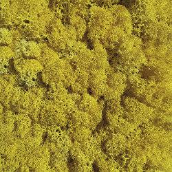 Islandmoos gelb | Living / Green walls | StoneslikeStones