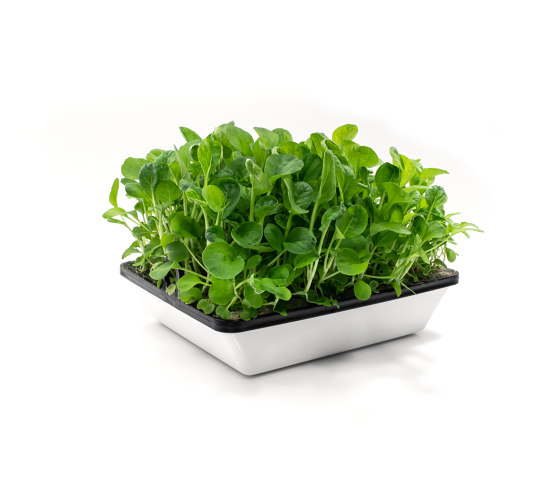 Tatsoi by agrilution | Vertical farming